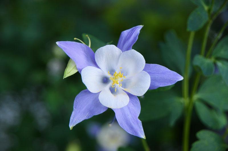Colorado columbine flower